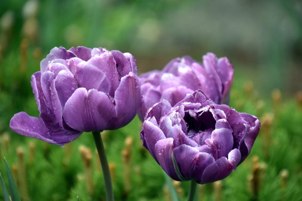Royal Tulips by genealogygenie