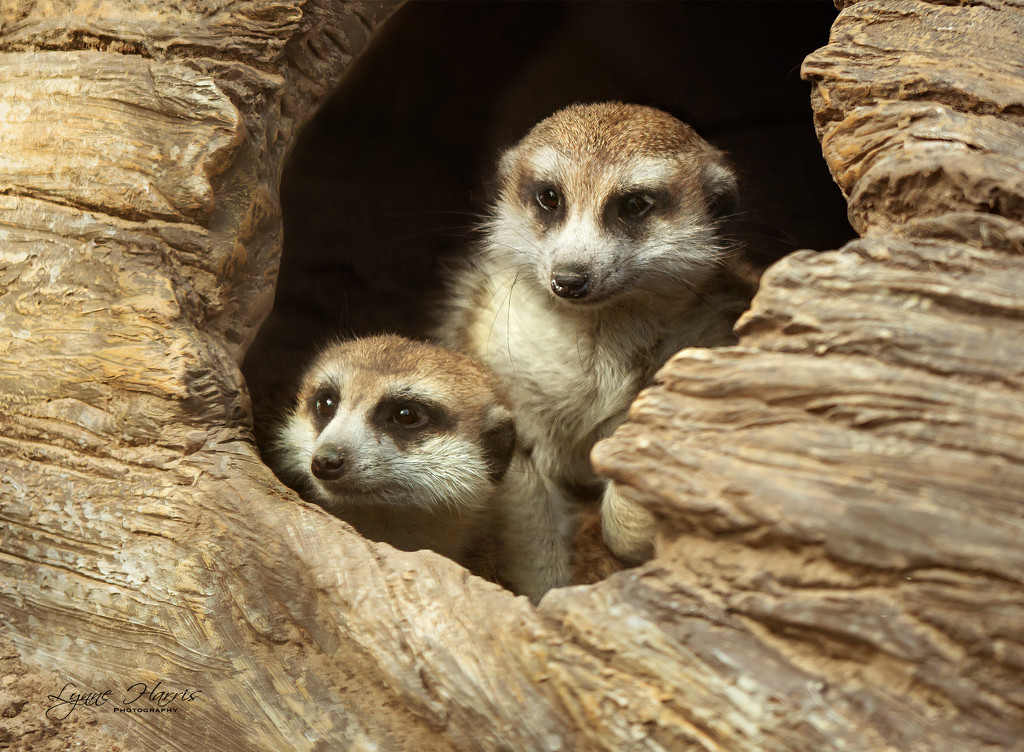 Meerkats at the Zoo by lynne5477