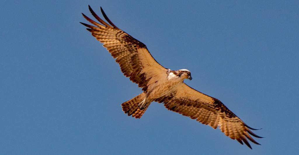 Osprey Overhead! by rickster549