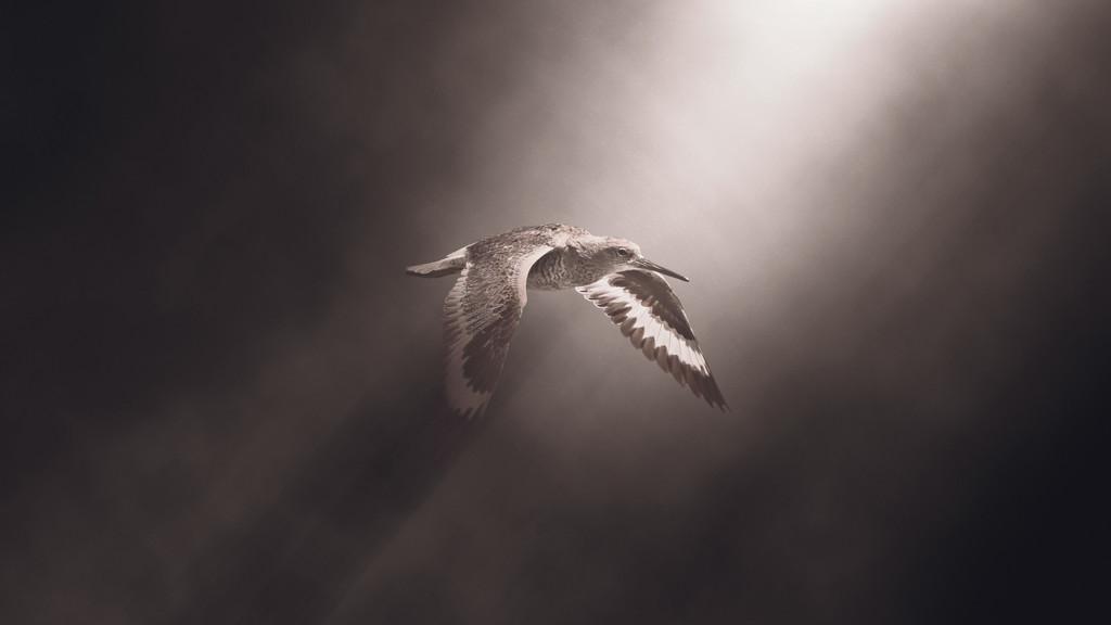 Willet in Flight by mikegifford