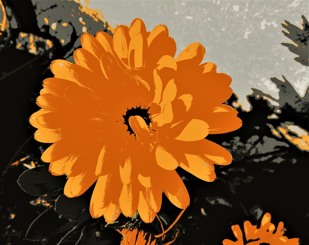 Calendula in the sun by etienne