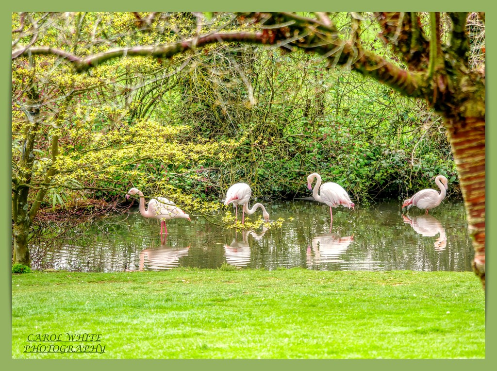 Flamingoes And Reflections by carolmw