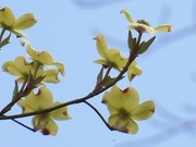 3rd Apr 2021 - Last of the dogwood blossoms...
