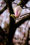 20th Apr 2021 - Magnolia Tree