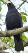 20th Apr 2021 - Blackbird