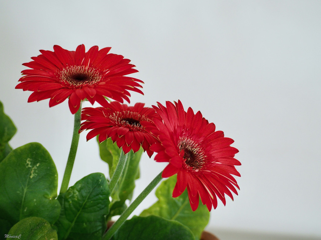 Red gerberas by monicac
