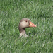 Greylag in the grass