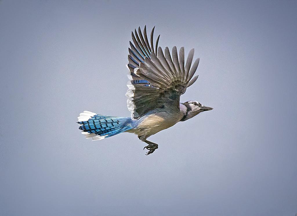 Bluejay in Flight by gardencat