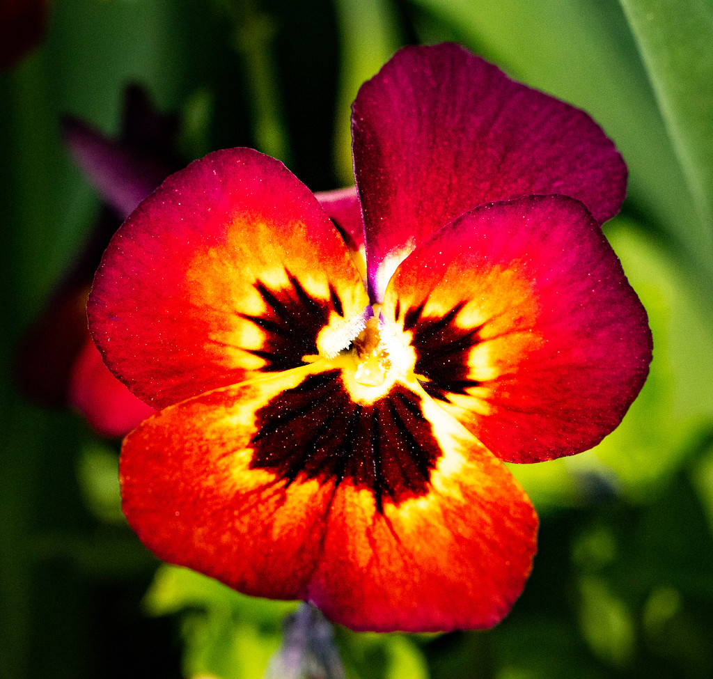 A Pansy with the pollen showing by barrgun