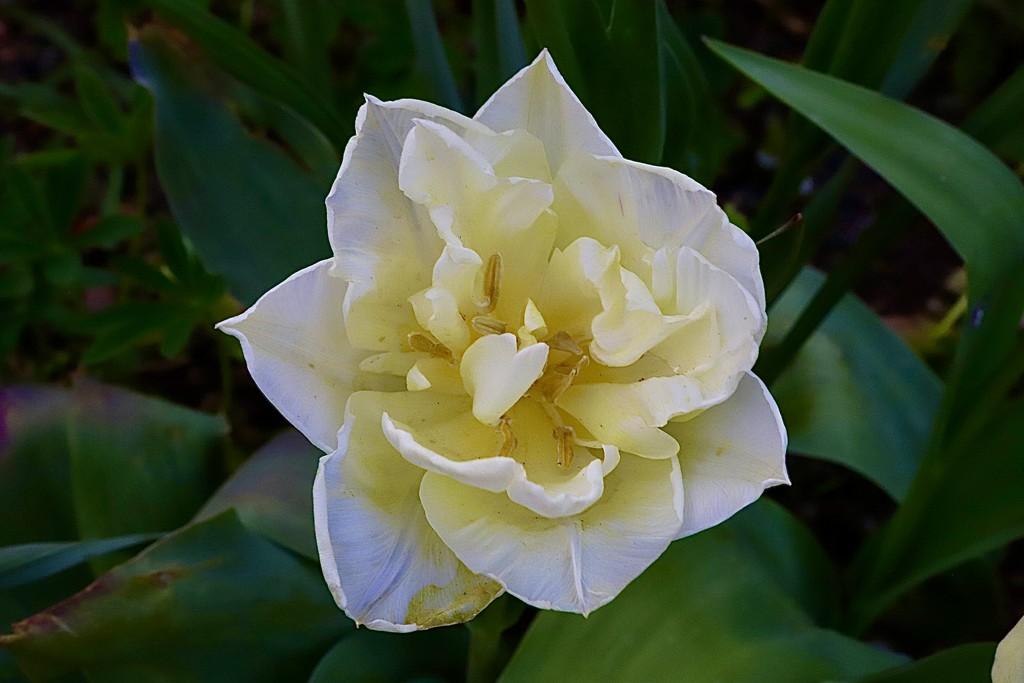 Frilly Tulip by carole_sandford