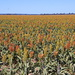 Day 2 - A Sea of Sorghum
