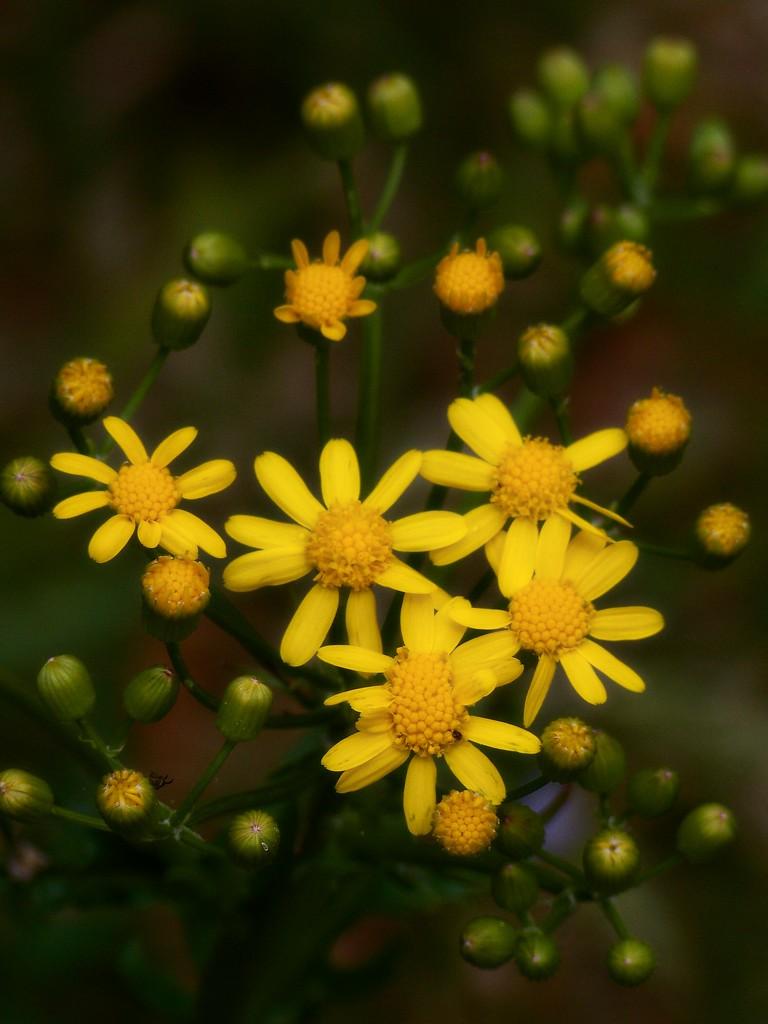 My 12th wildflower find of spring... by marlboromaam