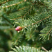 New pine cone