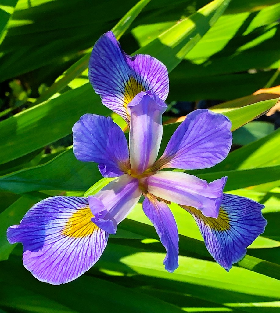 Sunlit iris by congaree