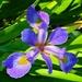 Sunlit iris