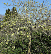 21st Apr 2021 - tree with yellow flowers