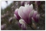 20th Apr 2021 - Magnolia Flowers