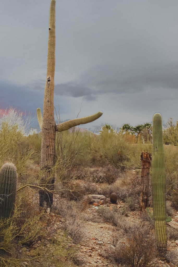 Saguaros  by blueberry1222