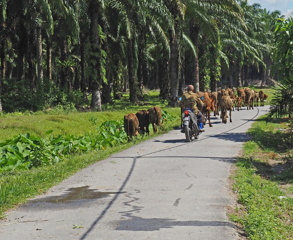 Cattle for walk by ianjb21
