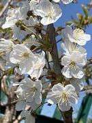 18th Apr 2021 - Hedgerow blossom
