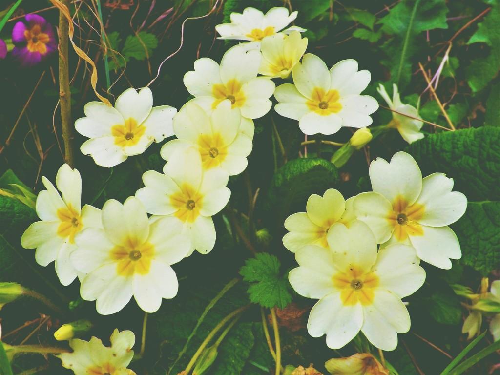 Primroses Prettyness by ajisaac