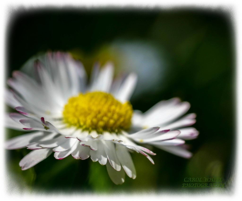Dreamy Daisy by carolmw