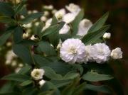 7th Apr 2021 - Double bridal wreath spirea...