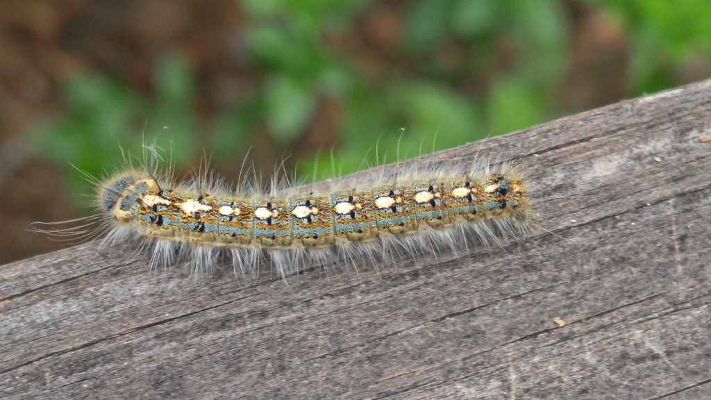 Forest tent caterpillar... by marlboromaam