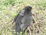 21st Apr 2021 - A blackbird.