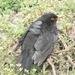 A blackbird.
