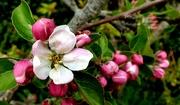 21st Apr 2021 - Apple Blossom
