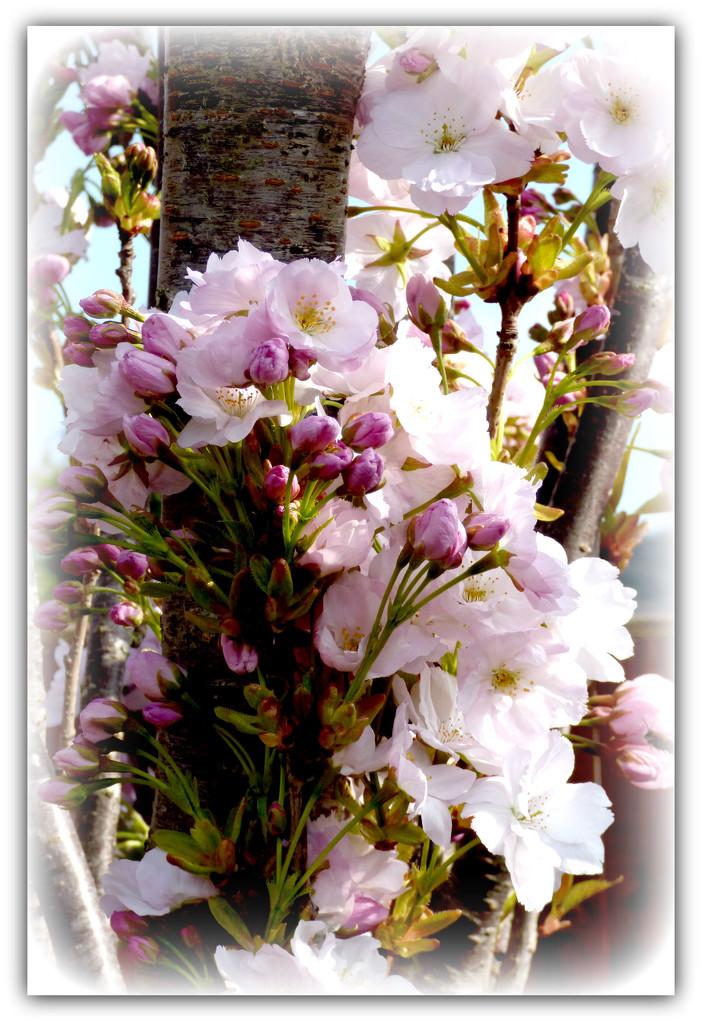 Upright flowering cherry by beryl