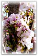 21st Apr 2021 - Upright flowering cherry