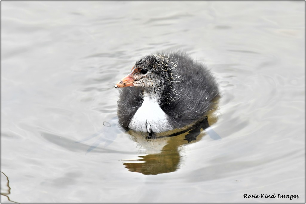 Young coot by rosiekind