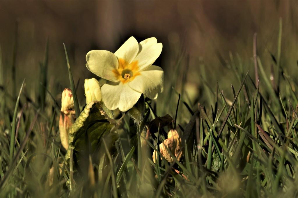 wild primrose by christophercox