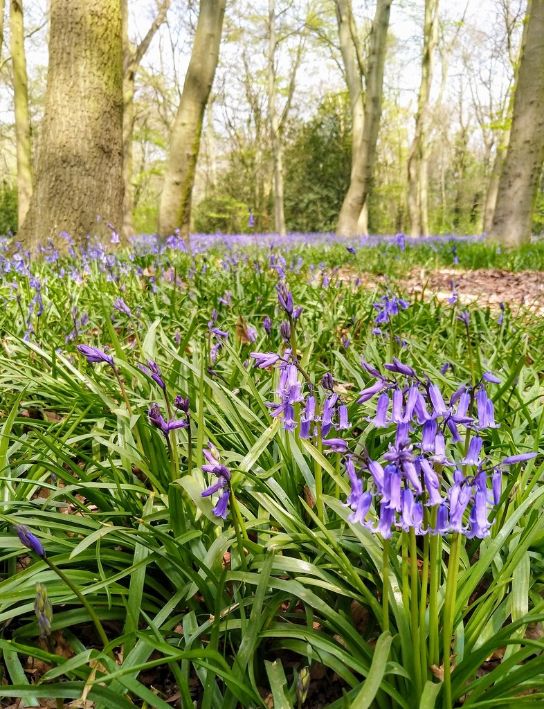 Bluebells in Chalet Wood by boxplayer