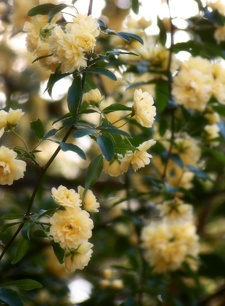 Last of the Lady Banksia... by marlboromaam