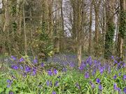 21st Apr 2021 - Bluebell woods