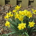 Daffodils mean Spring has arrived.
