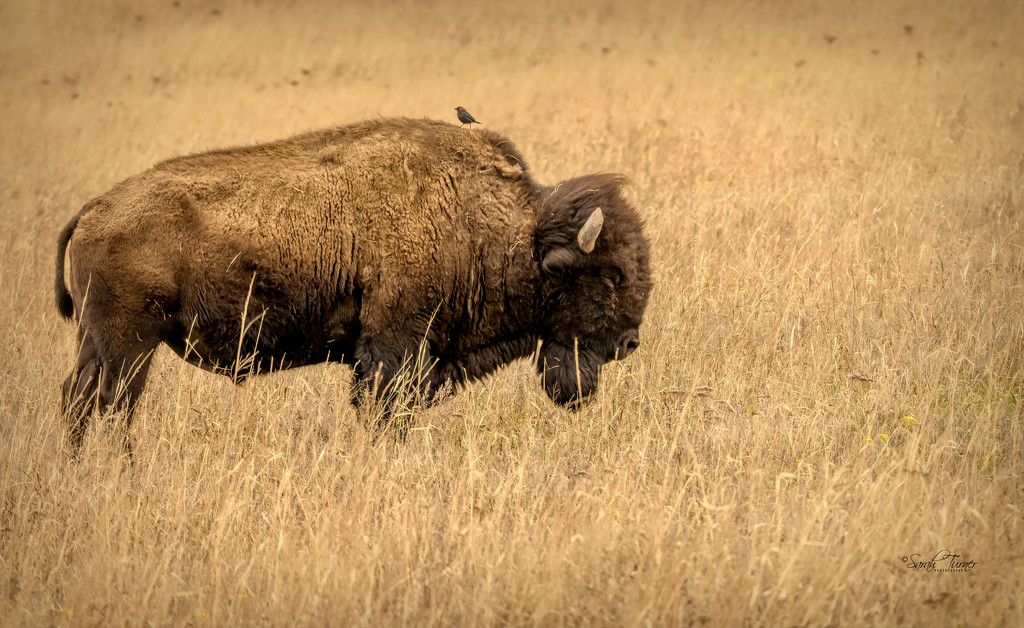 Sleeping Bison and his little friend by samae