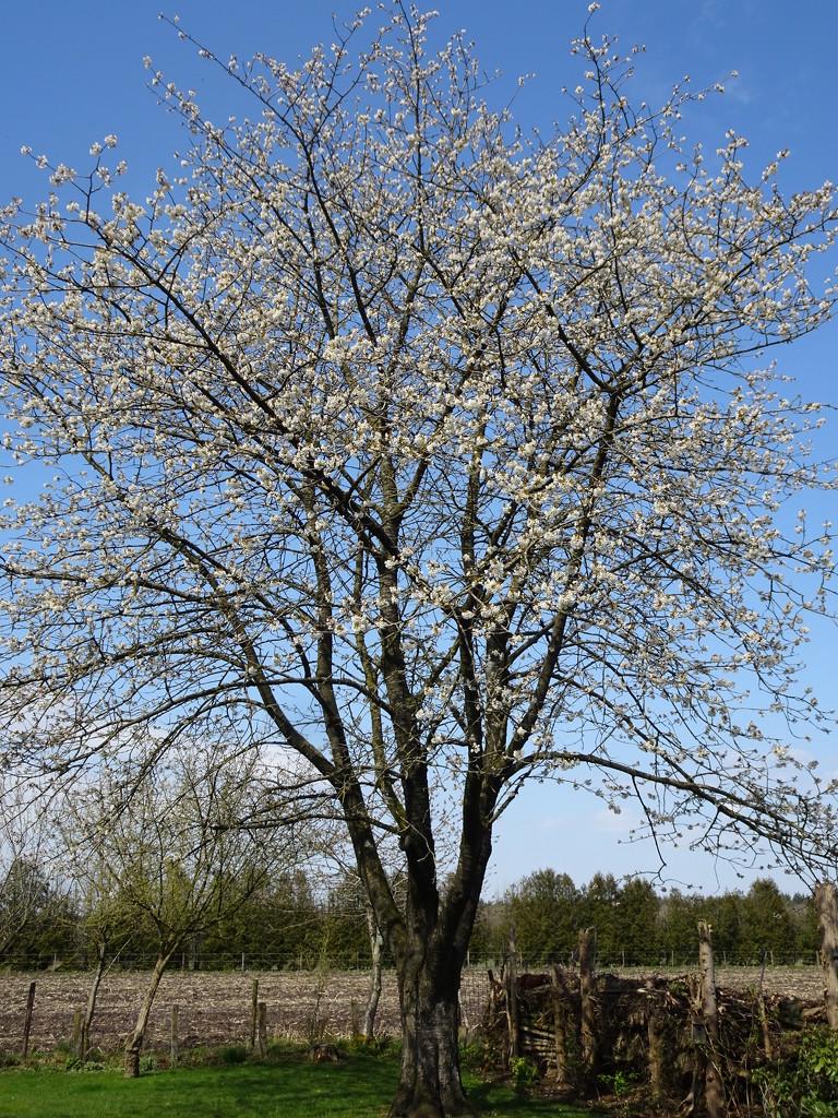 cherry tree by gijsje