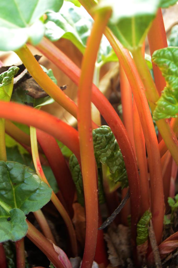 rhubarb by francoise