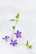 21st Apr 2021 - Periwinkle Flowers