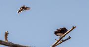 21st Apr 2021 - Osprey Being Attacked!