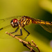 Dragonfly! by rickster549