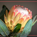 One of the many Protea varieties by ludwigsdiana