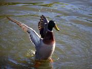 21st Apr 2021 - Duck dance