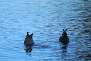 22nd Apr 2021 - Synchronised swimming