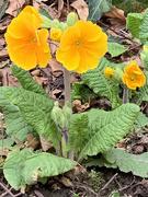20th Apr 2021 - Primula in the park...