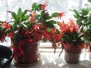 22nd Apr 2021 - Orange flowering cactus plants on sunny windowsill.